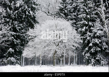 Pedunculate Oak (Quercus robur, Quercus pedunculata) and Norway Spruce (Picea abies) in winter, North Rhine-Westphalia, - Stock Photo