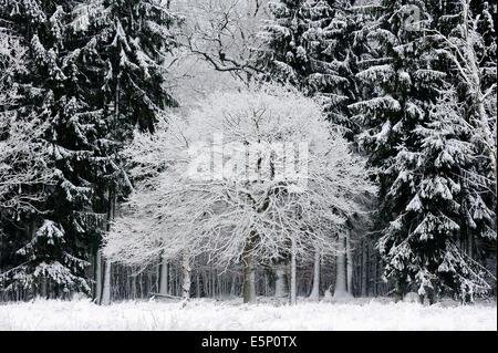 Pedunculate Oak (Quercus robur, Quercus pedunculata) and Norway Spruce (Picea abies) in winter, North Rhine-Westphalia, - Stock Photo