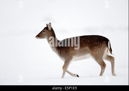 Fallow Deer (Dama dama), female in winter, North Rhine-Westphalia, Germany - Stock Photo