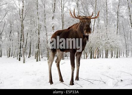 European Elk, European Moose, Eurasian Elk or Eurasian Moose (Alces alces alces), bull in winter - Stock Photo