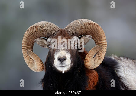 European Mouflon (Ovis orientalis musimon, Ovis gmelini musimon), ram - Stock Photo