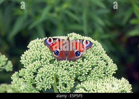 Peacock Butterfly Inachis io resting on ice plant - Stock Photo