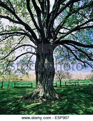 Comfort Maple Conservation Area conserves the oldest 500 years old sugar maple in Canada in Pelham Ontario Canada - Stock Photo