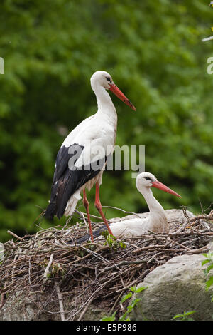 White Stork (Ciconia ciconia). Breeding pair, female sitting on nest. Note recent addition of green foliage on nest - Stock Photo