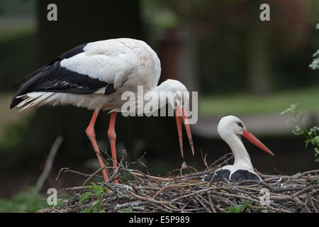 White Storks (Ciconia ciconia). Nesting pair. Male, standing left, regurgitating a pellet onto side of nest. - Stock Photo