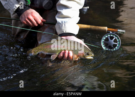 Rainbow trout caught while fly fishing in Colorado - Stock Photo