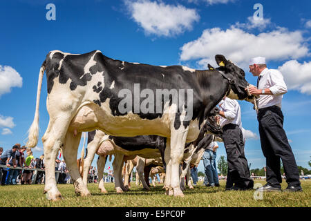 Showing dairy cattle, Agricultural show, Funen Agricultural show, Odense, Denmark - Stock Photo