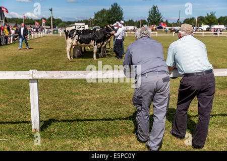 Elderly men looking at dairy cattle, Agricultural show, Funen Agricultural show, Odense, Denmark - Stock Photo