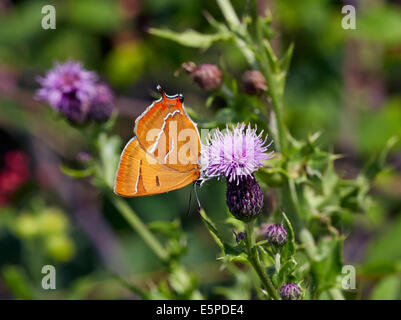Brown Hairstreak butterfly (female) feeding on thistle. Bookham Common, Surrey, England. - Stock Photo