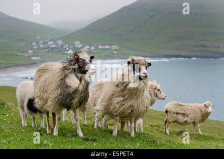 Sheep, Sandoy, Faroe Islands, Denmark - Stock Photo