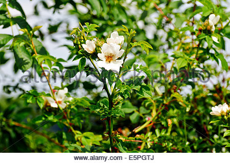 wild dog rose rosa canina with white petals yellow stamens - Stock Photo