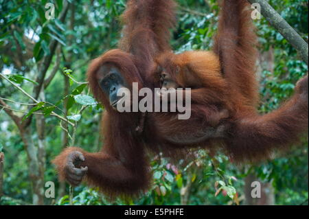 Mother and baby Sumatran orangutan (Pongo abelii), Bukit Lawang Orang Utan Rehabilitation station, Sumatra, Indonesia - Stock Photo