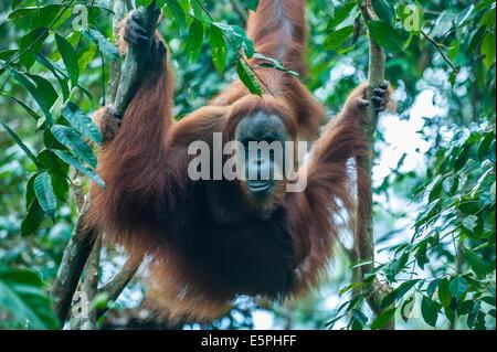 Huge male Sumatran orangutan (Pongo abelii), Bukit Lawang Orang Utan Rehabilitation station, Sumatra, Indonesia - Stock Photo