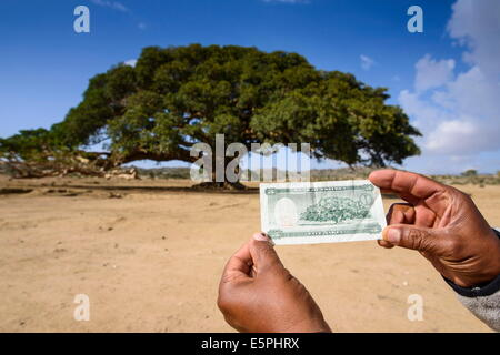 The giant sycamore tree featured on the Eritrean five Nakfa banknote near Segeneyti, in the highlands of Eritrea - Stock Photo