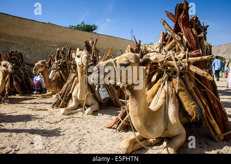 Camels loaded with firewood at the Monday market of Keren, Eritrea, Africa - Stock Photo