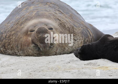 Little and Large, new born southern elephant seal (Mirounga leonina) pup with adult male bull, Sea Lion Island, - Stock Photo