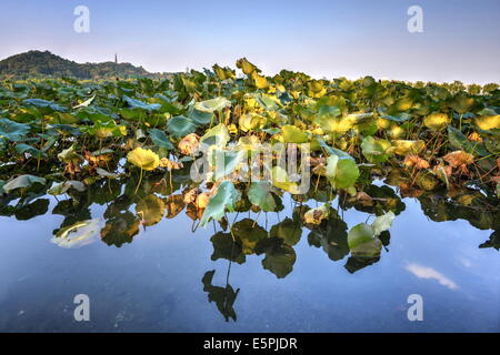 Lotus plants at BaiDi Causeway with reflections and Baochu Tower in the background, Hangzhou, Zhejiang, China, Asia - Stock Photo