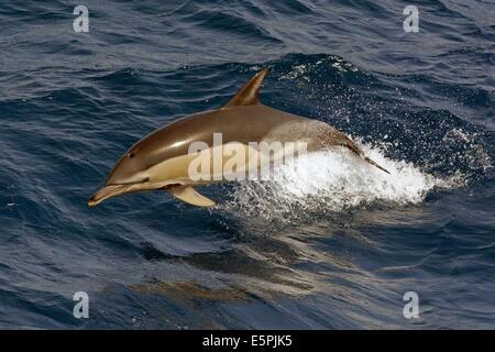 Short-beaked common dolphin (Delphinus delphis) porpoising clear of the water, Northeast Atlantic, offshore Morocco - Stock Photo