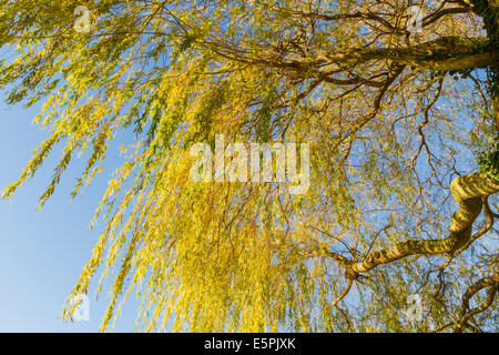 Looking up from below a yellow weeping willow tree in autumn, England, UK - Stock Photo