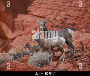 Desert Bighorn Sheep (Ovis canadensis nelsoni) ewe and two lambs, Valley of Fire State Park, Nevada, United States - Stock Photo