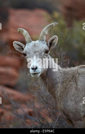 Desert Bighorn Sheep (Ovis canadensis nelsoni) ram, Valley of Fire State Park, Nevada, United States of America, - Stock Photo