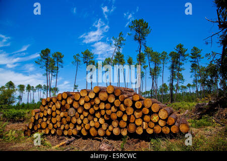 Piles of logs from fallen pine trees after the storm Klaus on January 24 2009 in the Landes forest, Gironde, France. - Stock Photo