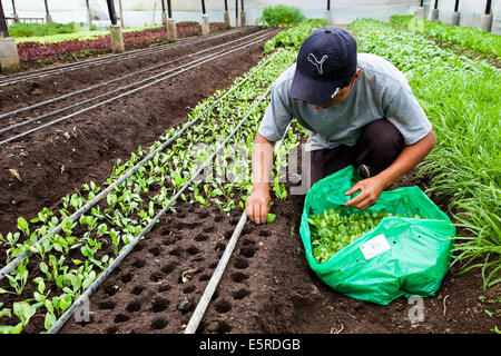 Worker planting young vegetable seedlings in organic market-farm. - Stock Photo