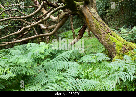 Dead Tree and Bracken in Parker Wood Pateley Bridge North Yorkshire England - Stock Photo