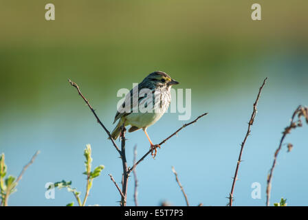 Single savannah sparrow (Passerculus sandwichensis) standing on wildrose branches beside the Sturgeon River, St - Stock Photo