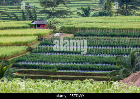Jatiluwih, Bali, Indonesia.  Terraced Rice Fields.  Rows of Peppers in the Middle. - Stock Photo