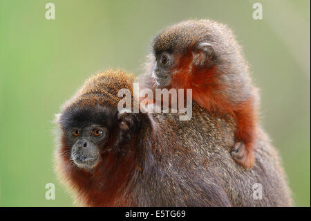 Coppery Titi Monkeys or Red Titi Monkeys (Callicebus cupreus), female with young, captive, Germany - Stock Photo