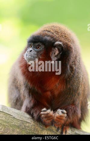 Coppery Titi Monkey or Red Titi Monkey (Callicebus cupreus), captive, Germany - Stock Photo