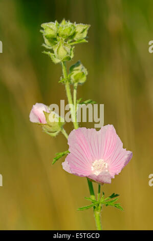 Vervain Mallow (Malva alcea), flower, North Rhine-Westphalia, Germany - Stock Photo