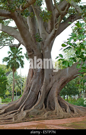 Champion tree at Arderne Gardens, Cape Town - Stock Photo