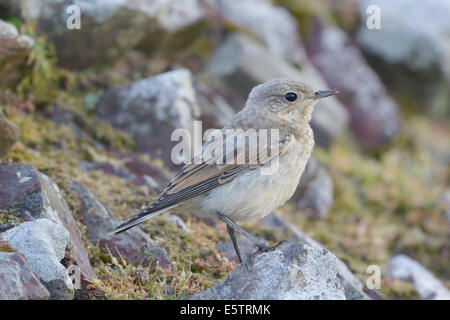 Young wheatear (Oenanthe oenanthe) perched on rock - Stock Photo