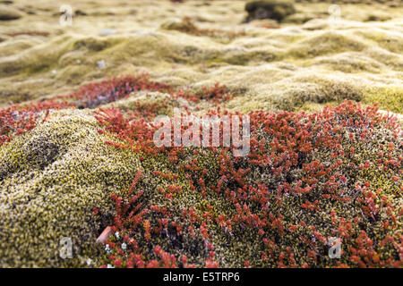 Close-up of lush green and red moss covering volcanic  rocks in a lava field in Iceland - Stock Photo