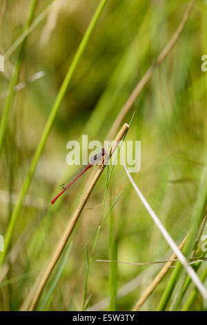 Small red damselfly (Coenagrion tenellum) - Stock Photo