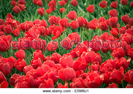 Red tulips in field in spring, Lisse, South Holland, Netherlands - Stock Photo