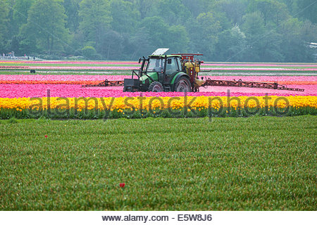 A tractor sprays the last remaining rows of tulips in a field near Lisse, South Holland, Netherlands - Stock Photo