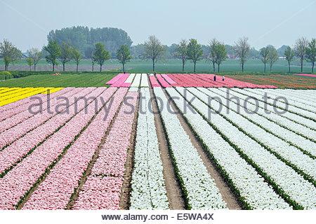 Men working in colorful tulip fields near village of Ursem, North Holland, Netherlands - Stock Photo