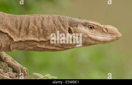 Bengal monitor (Varanus bengalensis) or common Indian monitor - Stock Photo
