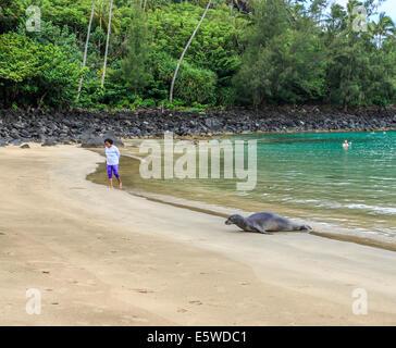 Hawaiian monk seal arrives at Kee Beach in Haena State Park on Kauai - Stock Photo