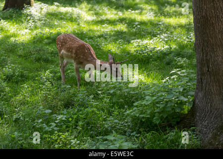 Fallow deer fawn grazing on fresh green forest clearing in summer. - Stock Photo