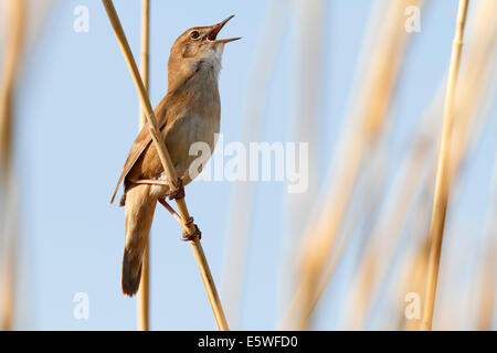Savi's Warbler (Locustella luscinioides), territorial singing, perched on reeds, Mecklenburg-Western Pomerania, - Stock Photo