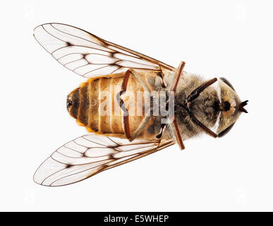 Dead fly - overhead macro shot - Stock Photo
