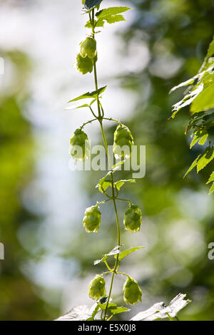 Faversham, Kent, UK 7th August, 2014. Hops (humulus lupulus) ripen in the sunshine as a warm dry day continues, - Stock Photo