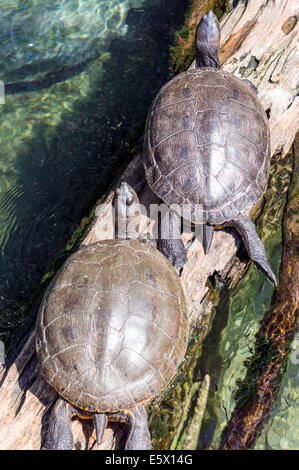Coastal Plain Cooter (Pseudemys concinna floridana) or Florida Cooter, species of herbivorous freshwater turtle - Stock Photo