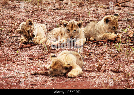 Four Lion Cubs, Three gnawing at wood with one in the foreground, asleep - Stock Photo