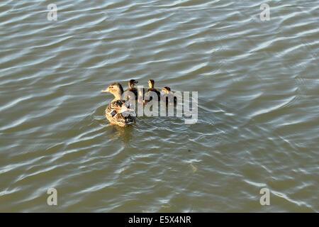 Mallard Duck and her Ducklings - Stock Photo