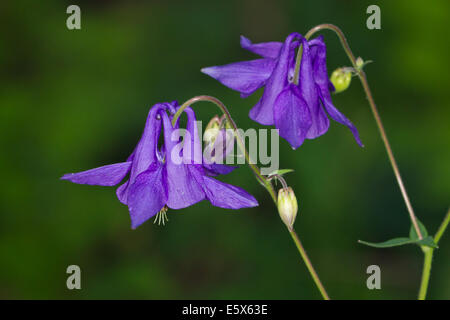 Columbine (Aquilegia vulgaris) flower - Stock Photo